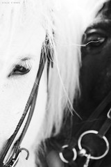 Close I (Ggja Einars..) Tags: family horses horse white cute love nature beautiful animals grey iceland soft spirit gorgeous free whitehorse equine nttra icelandic freindship icelandichorse hestur icelandichorses 50d hesturinn slenski ggja gigja einarsdottir gigjaeinarsdottir ldlportraits