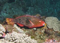 Ember parrotfish, Scarus rubroviolaceus by Derek Keats, on Flickr