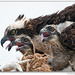 Osprey Mom and 2 Chicks