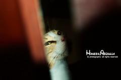 Cat (Haneen Abdulla) Tags: cat قط قطوه