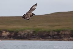 skua (Carolina A Castro) Tags: ocean sea scotland wildlife castro chase carolina shetland gannet skua noss nout birdprey coastbirdsboatseashepherdshetlandsscsnoss