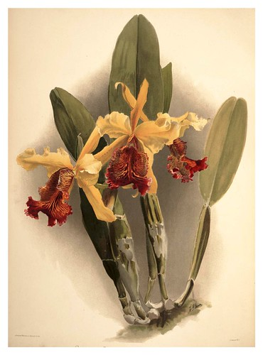 023-Cattleya Dowiana Var Chrysotoxa-Reichenbachia-Orchids illustrated and described..VolI I-1888-F.Sander