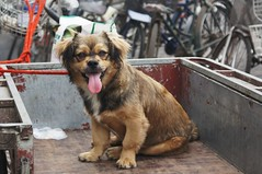 DSC00122 (Renata Gross Photography) Tags: china animals asia beijingstreet chinesedog
