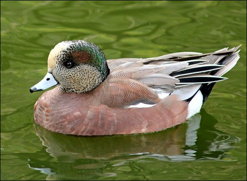 American Wigeon (Explored)