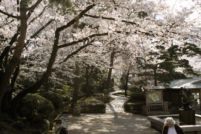 春はひと足ずつ 兼六園の桜