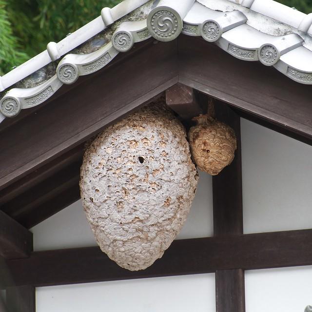Japanese hornets nests