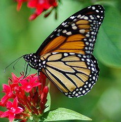 Monarch is busy sipping nectar from red Penta (jungle mama) Tags: monarch proboscis monarchcaterpillar penta monarchbutterfly nymphalidae danausplexippus danainae monarchlifecycle anawesomeshot wonderfulworldofmacro coth5 mygearandme lifecyclemonarchbutterfly