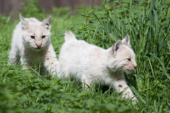 Baby Lynx (TeryKats) Tags: africa park wild summer cats netherlands cat canon eos zoo big young cuff gaia roar lynx kerkrade 70300 500d gaiapark lefteris katsouromallis terykats