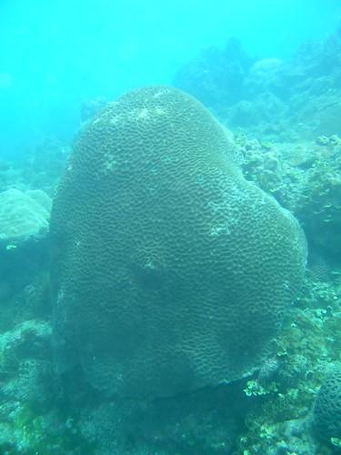 貝氏耳紋珊瑚。(珊瑚礁演化生態暨遺傳實驗室提供)