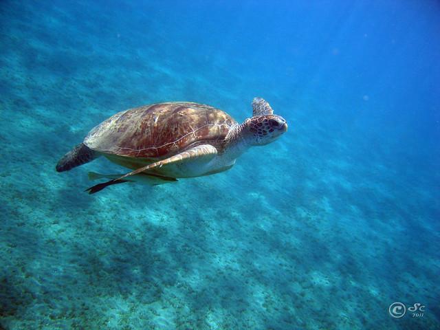 Howksbill Turtle - Tartaruga Imbricata