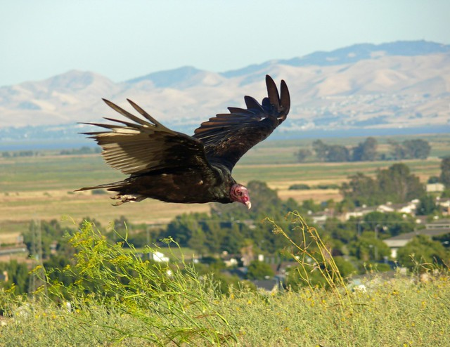 1turkey vulture tom nichols fairfield