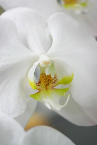 胡蝶蘭/moth orchid