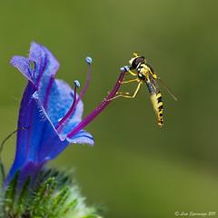 31072011-_DSC0125 (Lino Sgaravizzi ) Tags: macro ngc natura npc fiori azzurro insetti valtiberina bestcapturesaoi elitegalleryaoi mygearandme mygearandmepremium mygearandmebronze mygearandmesilver mygearandmegold mygearandmeplatinum