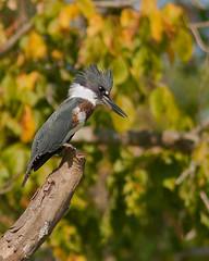 BrookvilleLake090211-8530 (digiphotonut) Tags: bird indiana kingfisher beltedkingfisher brookvillelake kayakshot