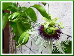 Our flowering Passiflora edulis (Purple Passionfruit/granadilla) - Aug 19 2011