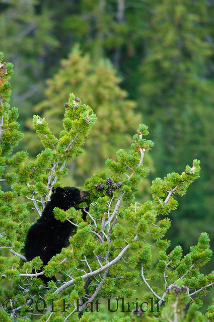 Bear cub eating pinecones - Pat Ulrich Wildlife Photography