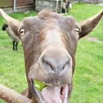 7/25/2011 (322/365) - Quinton The Goat thumbnail