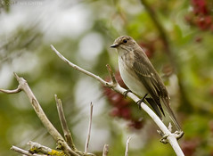 Spotted Flycatcher(Set) (Paul Green Photography) Tags: uk southwest bird unitedkingdom wildlife somerset aves avian spottedflycatcher canonef400mmf56lusm