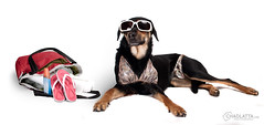 Kayce is ready for the beach... (chad.latta) Tags: dog chien beach sunglasses costume nikon chad suit perro bathing latta kayce d80