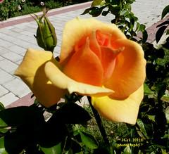 Rosa amarilla oscura. Yelow rose. (Pepe (ADM)) Tags: rose flor yelow amarilla oscura flowerrosa
