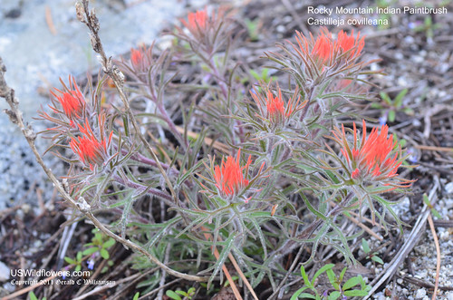 Rocky Mountain Indian Paintbrush, Coville Indian Paintbrush - Castilleja covilleana