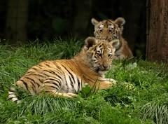 Tiger Cubs (Rick & Bart) Tags: animal cat zoo kat tiger tijger dierentuin bengaltiger olmen olmensezoo pantheratigristigris bengaalsetijger botg royalbengaltiger rickbart thebestofday gününeniyisi rickvink koningstijger