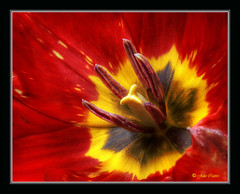 En rojo y amarillo (Julio_Castro) Tags: flowers plants naturaleza mountain flores macro nature nikon plantas nikond70s montaa colorphotoaward juliocastro oltusfotos