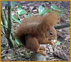 Red Squirrel at Pensthorpe (Janna...) Tags: nature wildlife norfolk redsquirrel fakenham pensthorpe