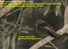 Vermillion flycatcher Birding Peru (10) (Nature Expeditions 06) Tags: trip vacation urban bird peru nature birds holidays tour lima birding stefan andes trips guide vermilion peruvian vermilionflycatcher flycatcher sanisidro pyrocephalusrubinus expeditions tyrannidae pyrocephalus rubinus elolivar birdguide lomasdelachay pantanosdevilla natureexpeditions birdinginperu austermhle birdingperu birdinginlima flycatchersofperu