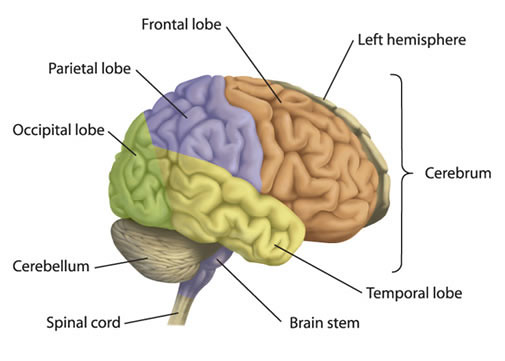 give the parts of brain and there respective functions, Human Body