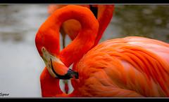 Sunburst (Spar4040) Tags: orange bird nature birds canon neck zoo pond bokeh flamingo curves feathers flamingos jacksonville canonrebel framing jacksonvillezoo jacksonvillezooandgardens