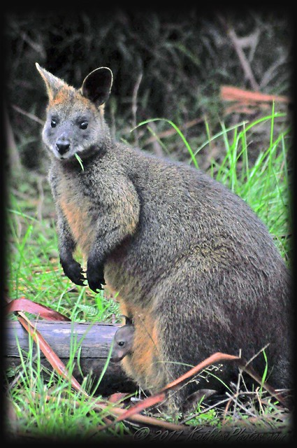 222-365 Swamp wallaby and joey