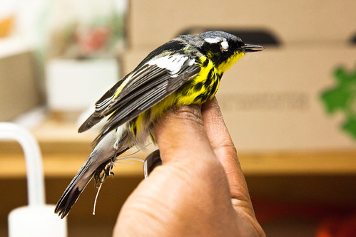 Magnolia warbler, in process