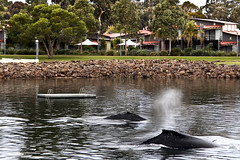Whales in Town ;-)) (Georgie Sharp) Tags: port amazing south australia sharp experience waters augusta whales georgie sheltered abcopen:project=wateris