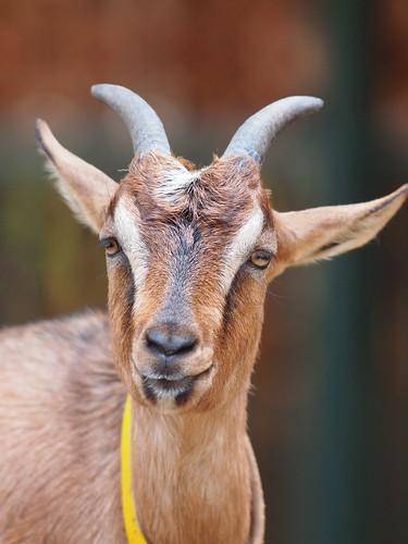 多摩動物公園 ヤギ