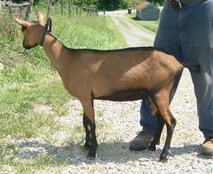DAIRYLICIOUS DAFFODIL SUNSHINE - B001531297 (Erin Cooper Young Living) Tags: sunshine goat doe american daffodil dairy genetics oberhasli dairylicious adga 110813 goat:sex=doe goat:registry=american goat:breed=oberhasli b001531297 goat:regnumber=b001531297 goat:regname=dairyliciousdaffodilsunshine