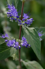Bartblume / bluebeard (Caryopteris x clandonensis) (HEN-Magonza) Tags: flowers nature flora natur blumen bluebeard bartblume caryopterisxclandonensis