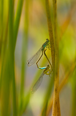 Dragon Art (GaryHowells) Tags: dragonflies odonata dragonfliesmating