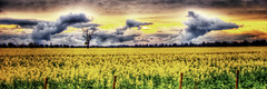 Canola Field in the Rain (Explore 17 August 2011) (Indigo Skies Photography) Tags: sunset tree field clouds fence farm farming australia victoria hdr canola nikond2h undera northerncountry tamron28mmf25