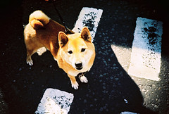 slightly blurred dog (lomokev) Tags: dog lomo lca xpro lomography crossprocessed xprocess brighton lomolca lomograph deletetag lomographyxprochrome100 posted:to=tumblr roll:name=110730lomolca100xpro file:name=110730lomolca100xpro00017
