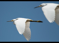 Egrets on the move (MurrayH77) Tags: bird wildlife flight nj 1001nights egret wow1 wow2 wow3 wow4 capemaycounty 1001nightsmagiccity allnaturesparadise