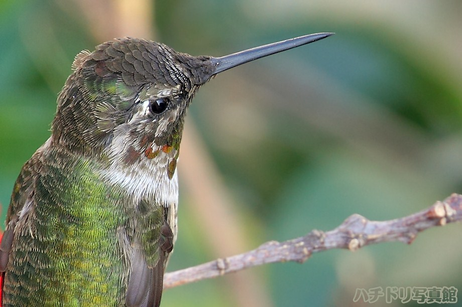 Anna's Hummingbird 082011-2