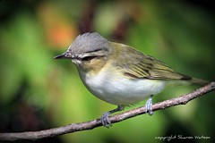 Red-eyed Vireo (Vireo olivaceus) (Sharon's Bird Photos) Tags: northdakota migrating redeyedvireo backyardbirding specanimal 8202011happyworldphotographyday newlifer