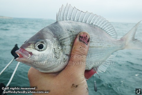 Black Sea-Bream - Spondyliosoma cantharus