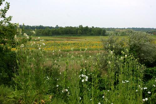 07222011JGW-BannerMarshNorthEastAccess-SunflowersIMG_1193
