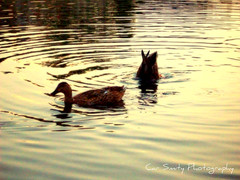 the pond of ducks (Car Smity Photography) Tags: