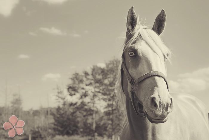 Halifax NS Wedding Portrait Horse Equine photography - Splash & Donna - Nicole Payzant -  (25 of 26)
