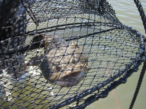 toadfish_in_trap
