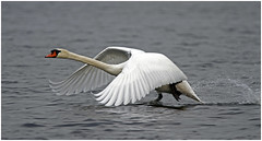 Zwaan (NLHank) Tags: holland bird nature netherlands dutch birds canon eos swan wildlife nederland vogels natuur swans 7d 70200 wanneperveen vogel giethoorn natuurmonumenten zwaan favoriet wieden zwanen wiede wijde zwanenmeer eos7d zuideindiger zwanemeer