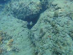 杉原珊瑚礁遭受沉積物覆蓋,魚兒無以為家。楊明哲攝。